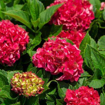 2.5 qt. Heart Throb Hydrangea Shrub, Live Blooming Plant with Cherry Red Flowers
