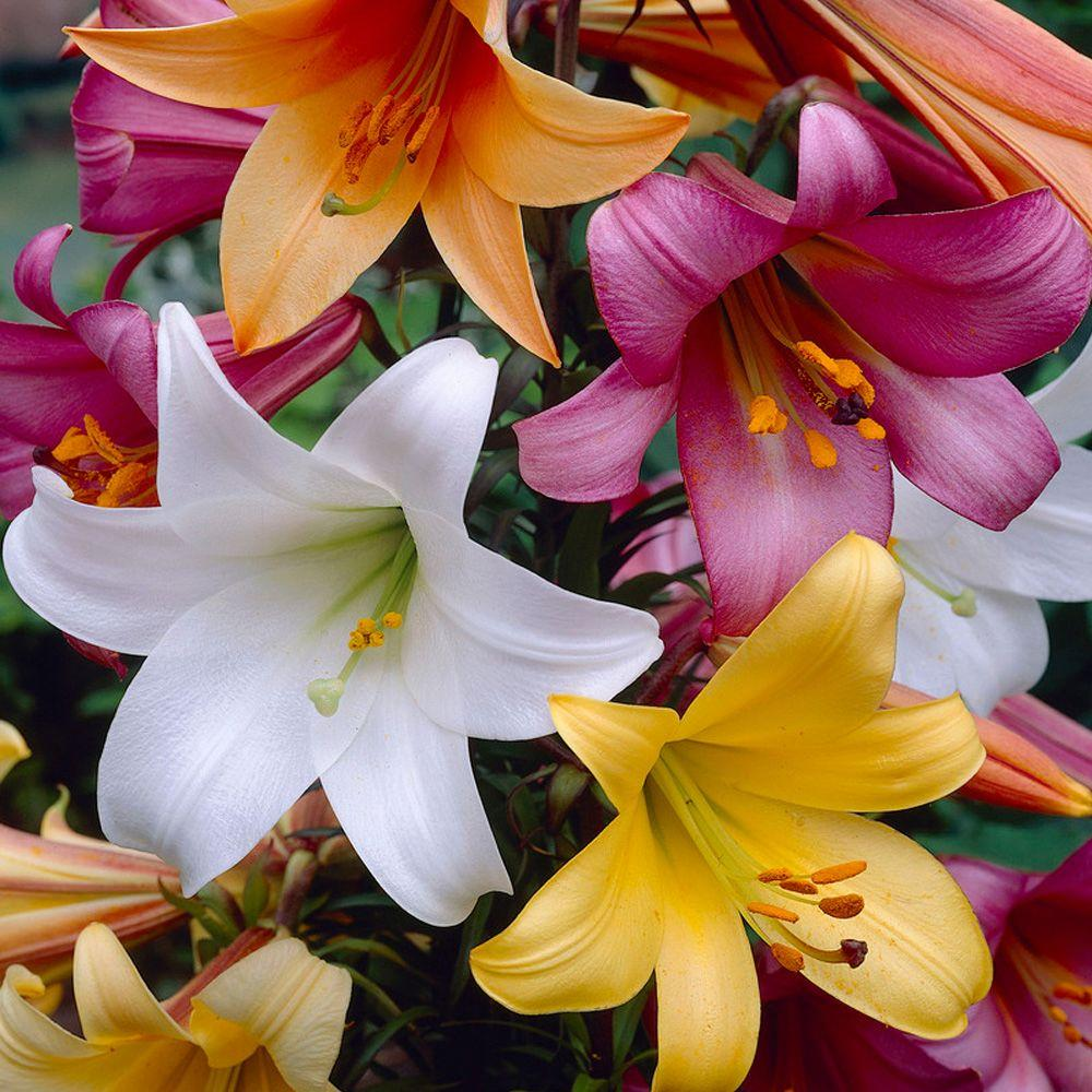 Bloomsz Trumpet Lily Bulbs Collection (8-Pack)