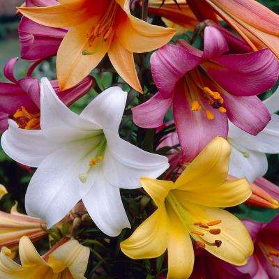 Trumpet Lily Bulbs Collection (8-Pack)