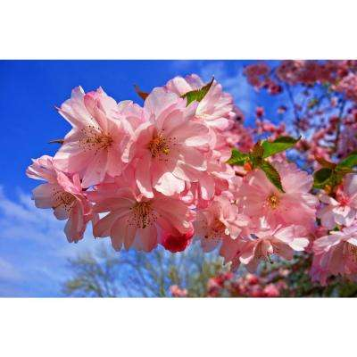 Amanogawa Cherry Blossom Tree (Bare Root, 3 ft. to 4 ft. Tall)