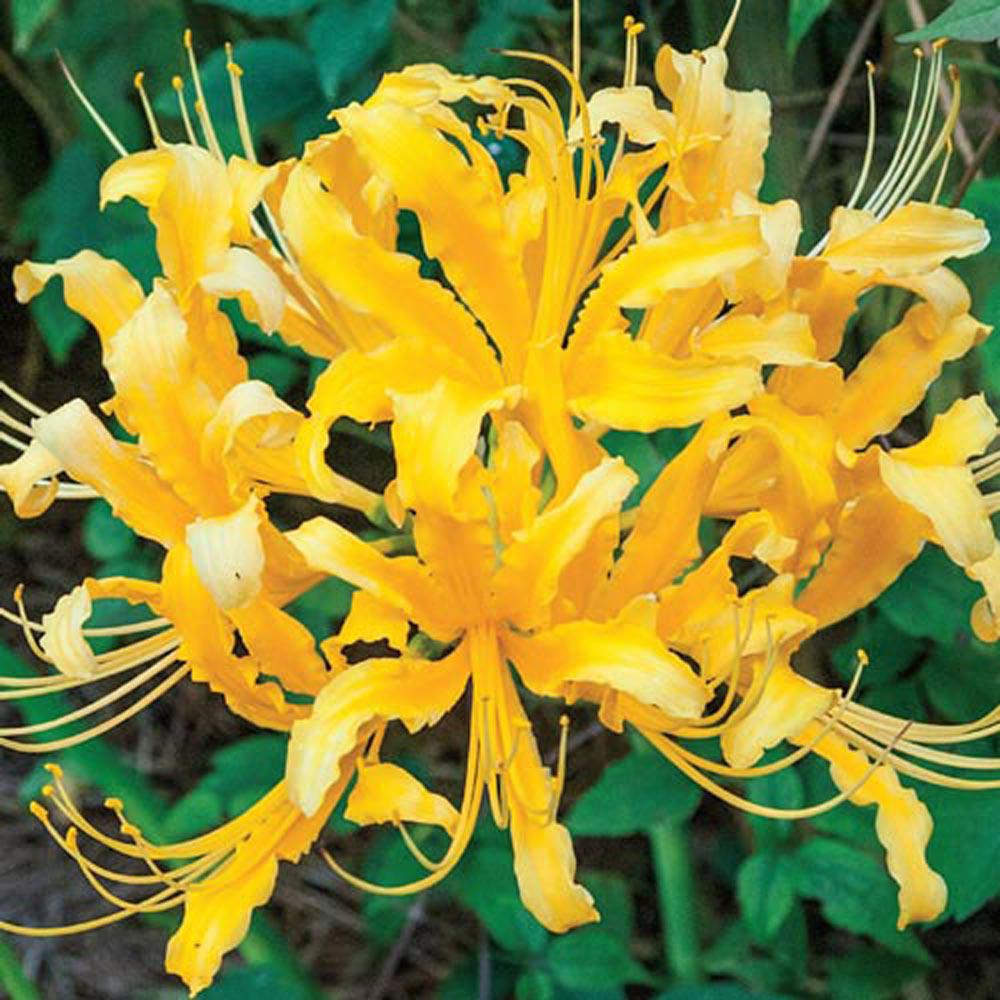 Brecks Golden Lily Spider Bulb 1 Pack 93613 The Home Depot