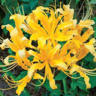 Golden Lily Spider Bulb (1-Pack)