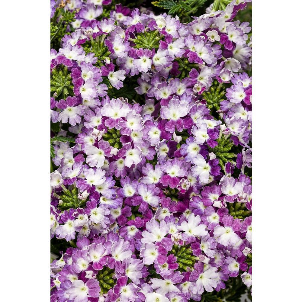 Purple full sun annuals garden plants flowers the home depot superbena royale sparkling amethyst verbena live plant purple and white flowers izmirmasajfo Images