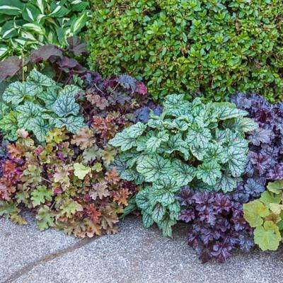 2 in. Pot Mixed Color Foliage Coral Bells (Huechera), Live Potted Perennial (1-Pack)