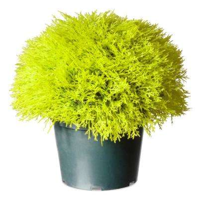 15 in. Golden Juniper Bush with Green Pot