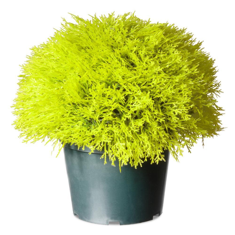 15 in. Golden Juniper Bush with Green Pot