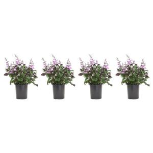 2.5 Qt. Plectranthus Mona Lavender Plant in 6.33 in. Grower's Pot (4-Plants)