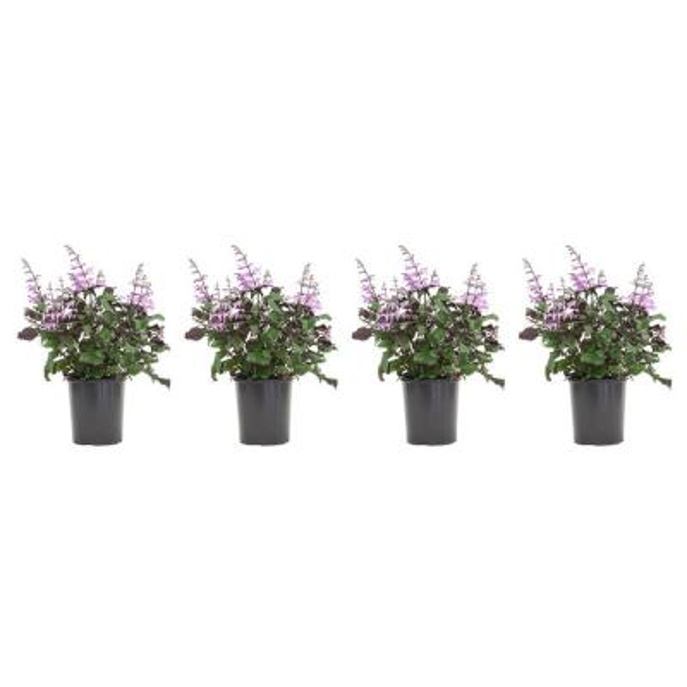 2.5 Qt. Plectranthus Mona Lavender Plant in 6.33 in. Grower's Pot (4-Plants)