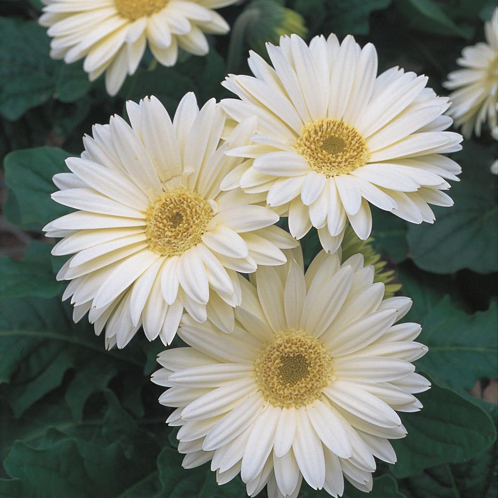 2.5 Qt. White Transvaal Daisy Plant
