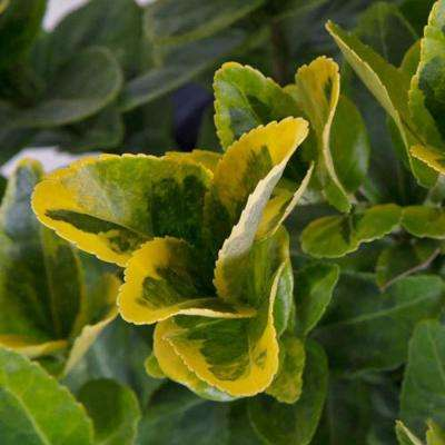 9.25 in. Pot - Golden Euonymus, Live Evergreen Shrub, Green and Gold Variegated Foliage