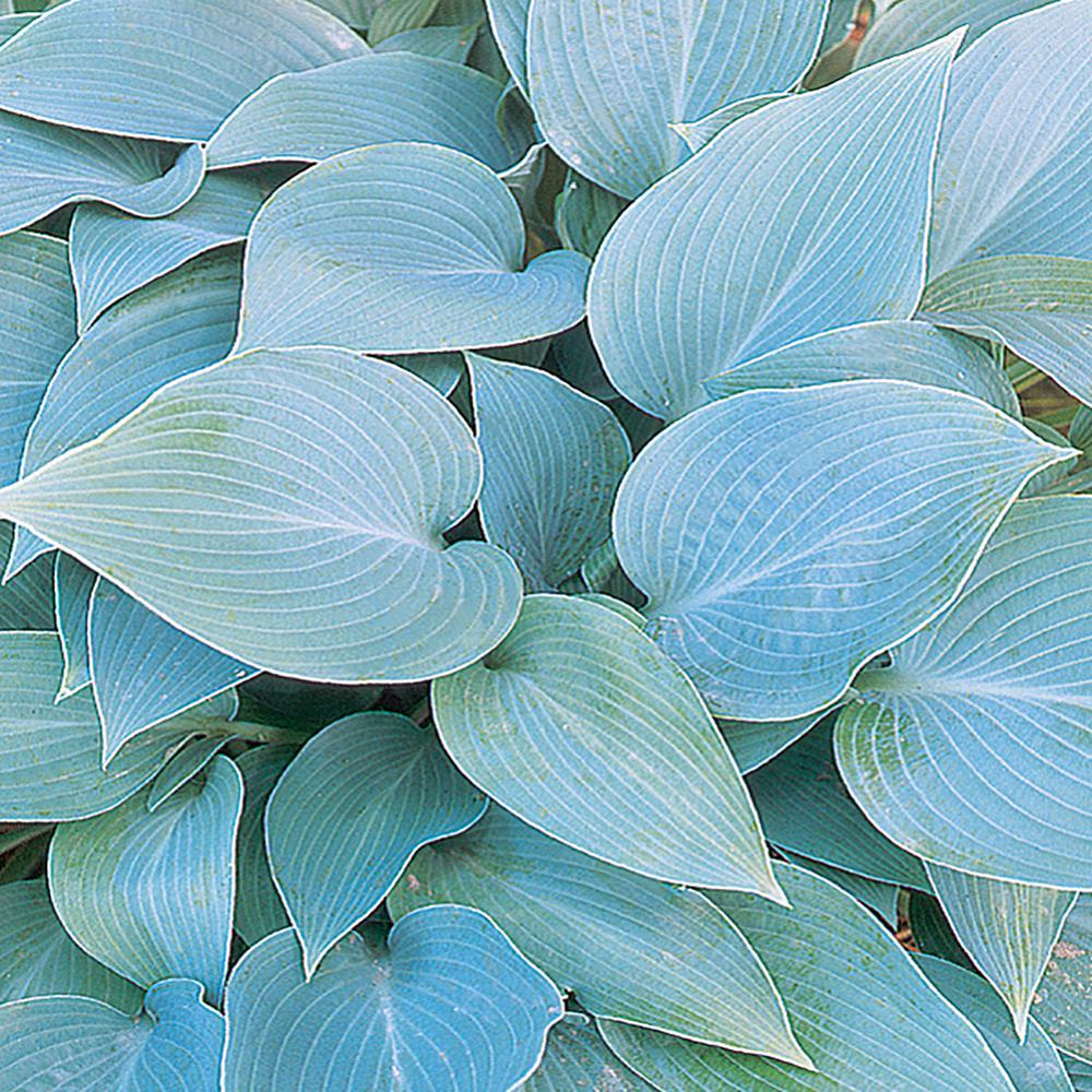 #5 1 Qt. Halcyon Blue Hosta Plant