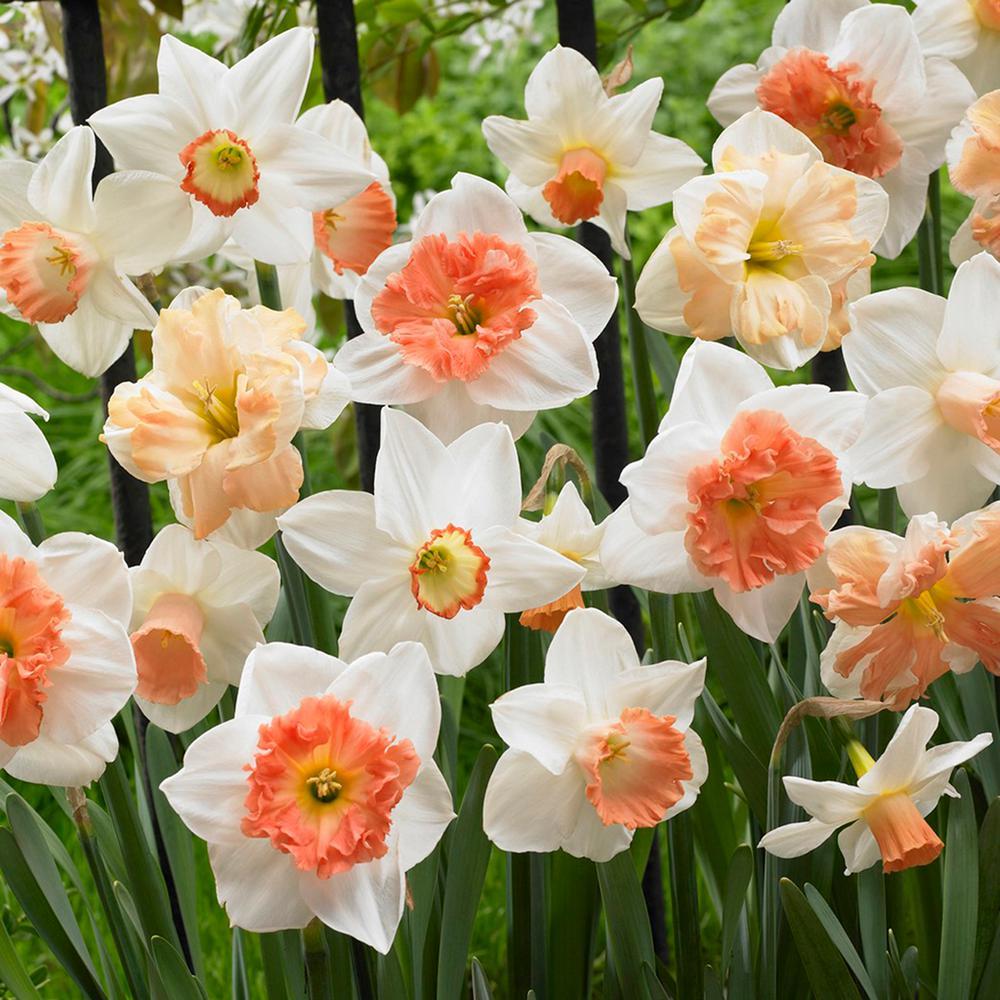 Van Zyverden Daffodils Bulbs Pink Mixture Set Of 100 21468 The