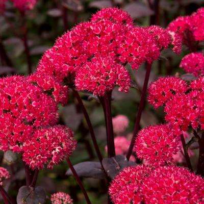 Garden Succulent Sedum Red Cauliflower Roots (3-Pack)