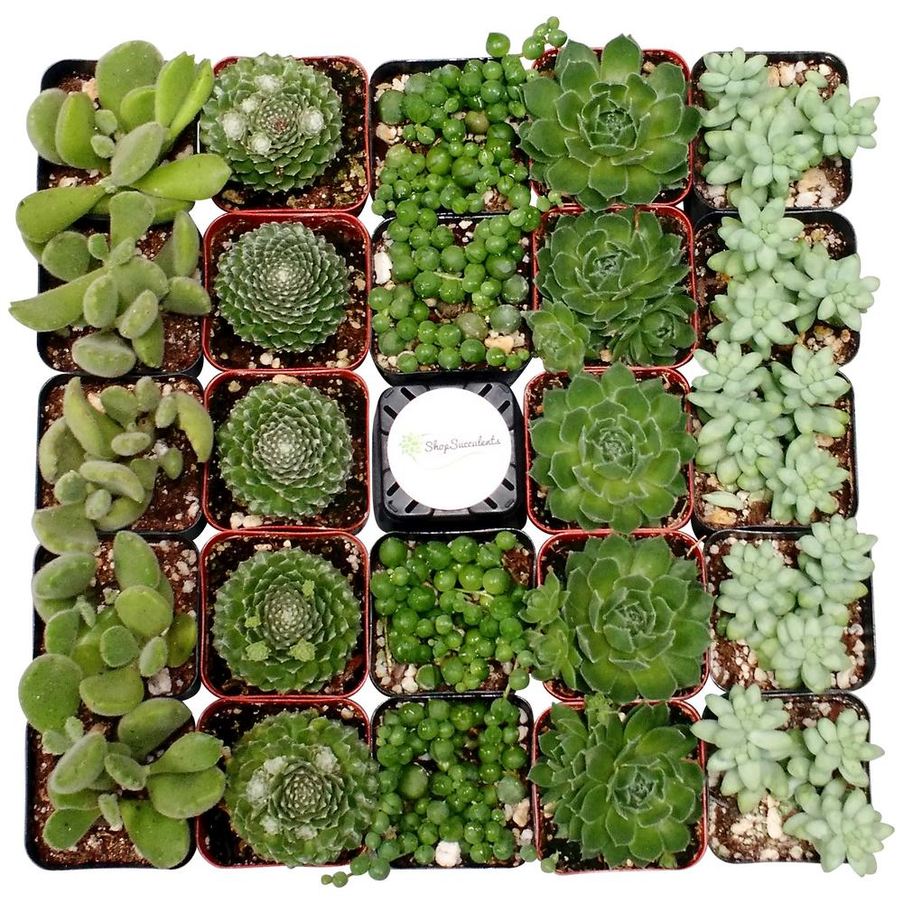 Shop Succulents 2 in. Green Succulent (Collection of 128)