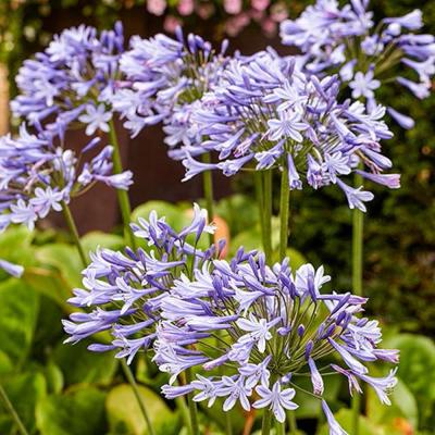 Blue Flowering Lily-of-the-Nile Agapanthus Bulbs (2-Pack)