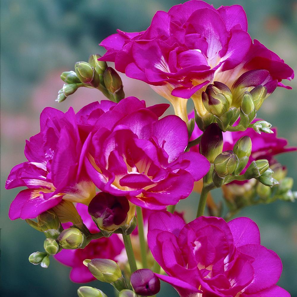 Freesia flowering the home depot freesias bulbs purple rain set of 25 mightylinksfo