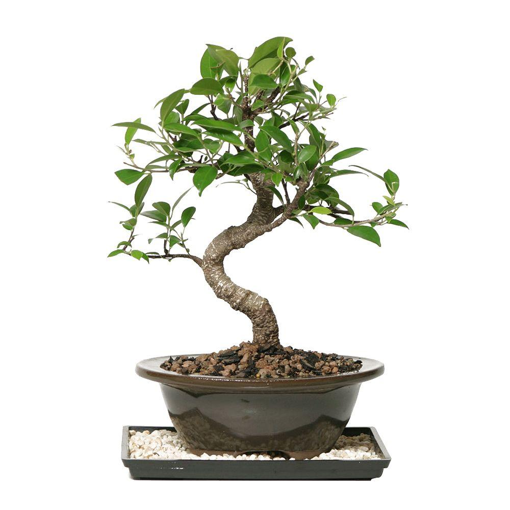 Brussel S Bonsai Golden Gate Ficus Bonsai Ct 2005ggf The Home Depot