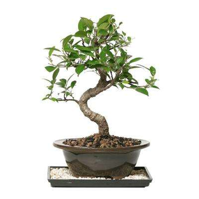 Bonsai Trees - Indoor Plants - The Home Depot