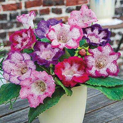 Multi-Colored Butterfly Gloxinia Flowers Bulbs (3-Pack)