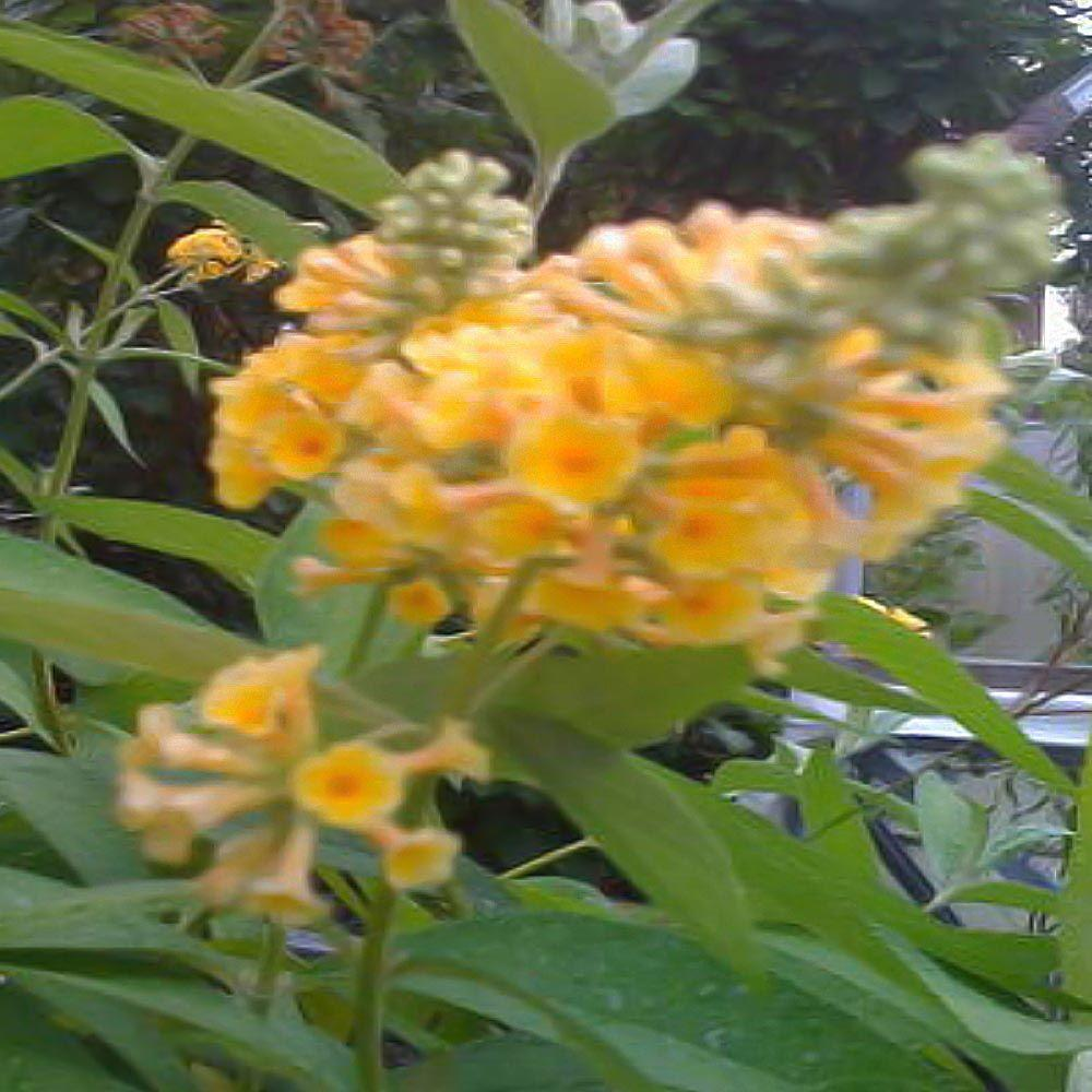 null 1 gal. Sungold Butterfly Bush Plant-DISCONTINUED
