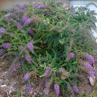 2 Gal. Lo and Behold Blue Chip Butterfly Bush Shrub