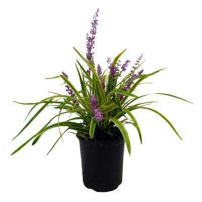 2.5 Qt. Variegated Liriope Plant with Grass-Like Green and Creamy White Leaves