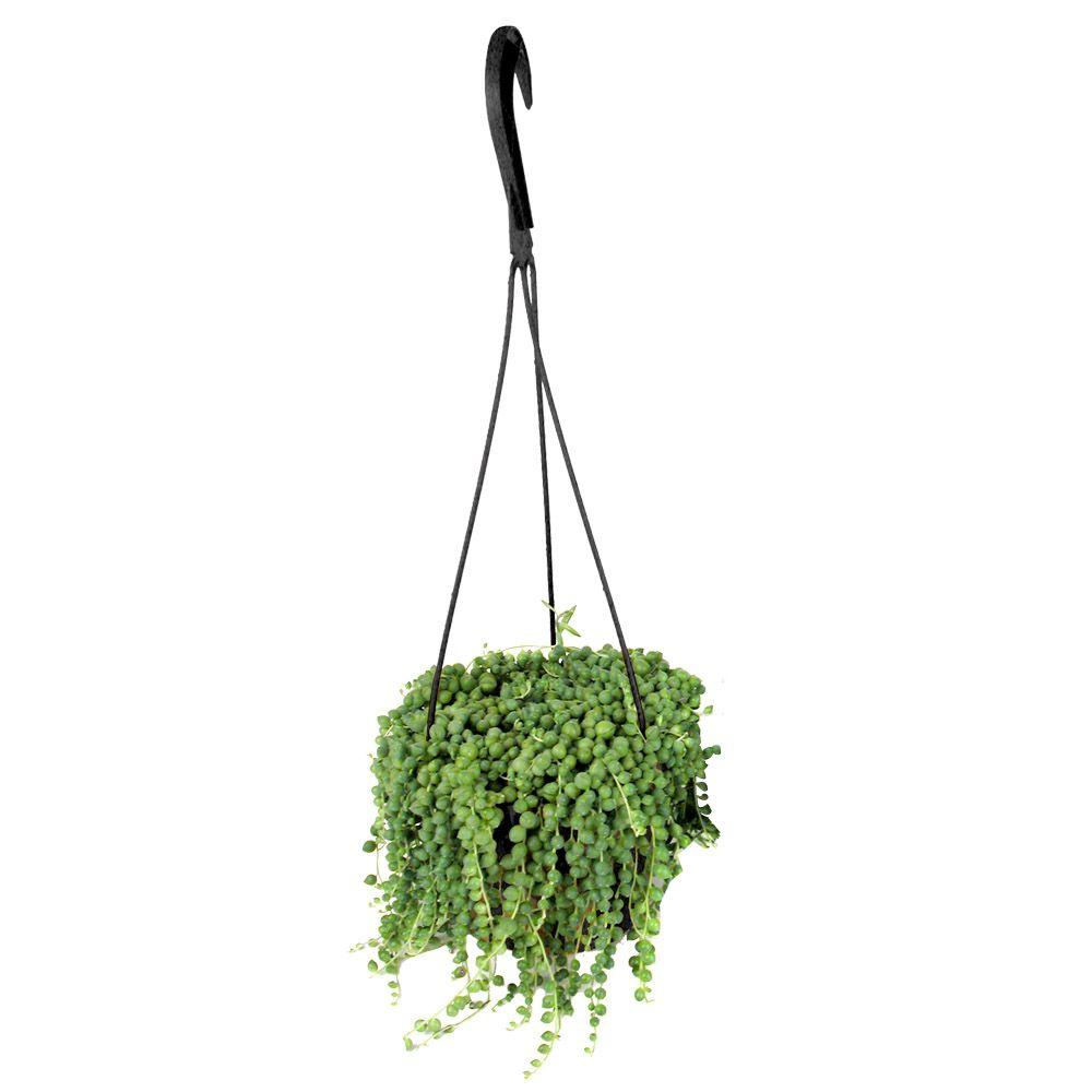 String of banana plant care - Assorted String Of Pearls Hanging Basket Plant 0881004 The Home Depot