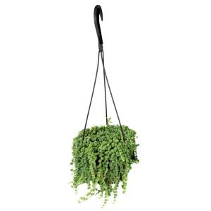 6 In Assorted String Of Pearls Hanging Basket Plant