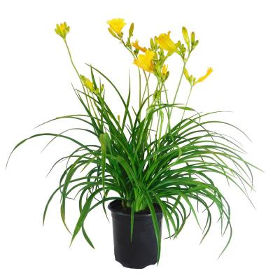 1 Gal. Stella De Oro Daylily Perennial Plant with Golden Yellow Flowers
