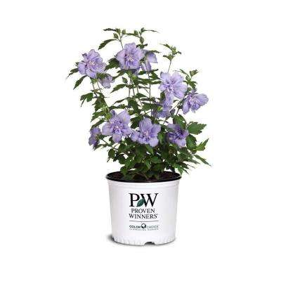 5 Gal. Blue Chiffon Rose of Sharon (Hibiscus) Plant with Blue Flowers
