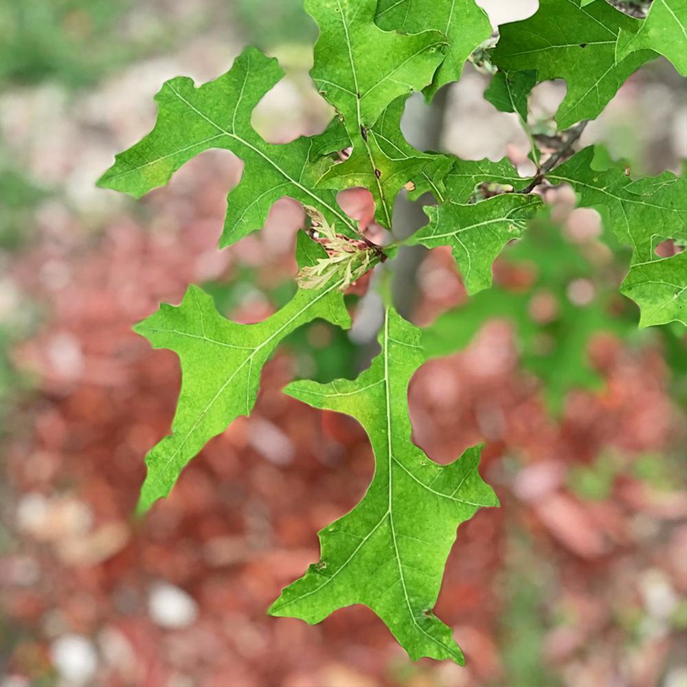 Oak Tree - Trees & Bushes - Garden Center - The Home Depot