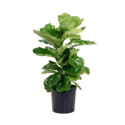 Ficus Lyrata Plant In 9 25 Grower Pot