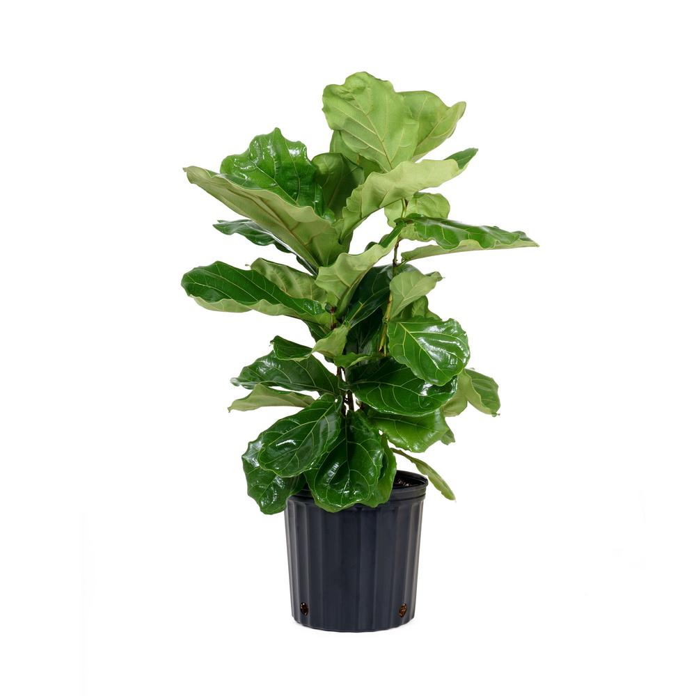 United Nursery Ficus Lyrata Plant in 9.25 in. Grower Pot