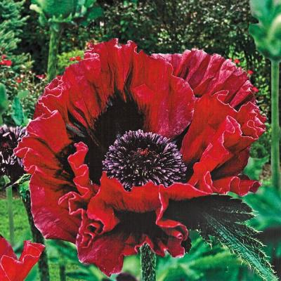 Bloomsz Prince of Orange Oriental Poppy (Pack of 3)-09316 - The Home