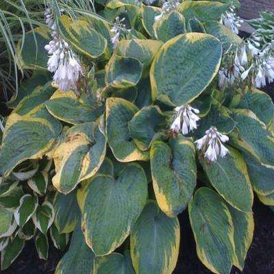 1 Gal. Frances Williams Hosta Plant