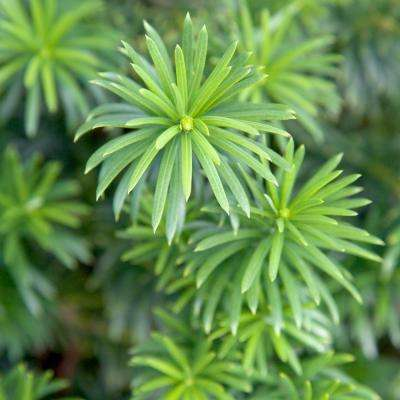 2 Gal. Plum Yew Yewtopia, Live Evergreen Shrub, Dark Green Needled Foliage