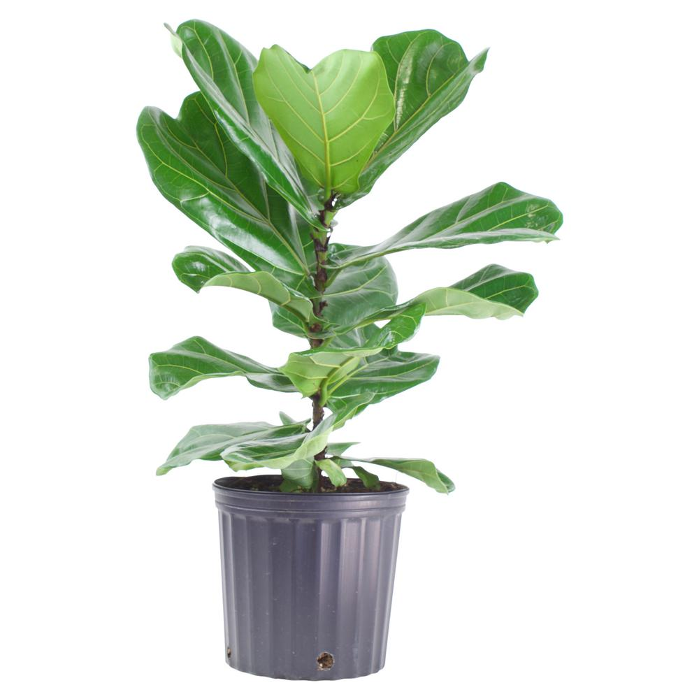 Pure Beauty Farms Ficus Lyrata Plant in 9.25 In. Grower's Pot