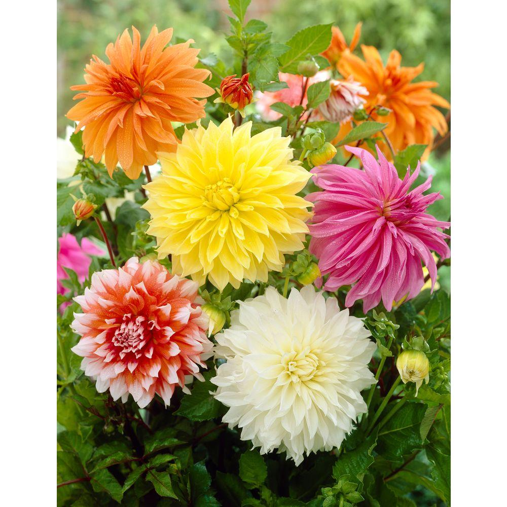 Bloomsz Dinnerplate Dahlia Mix Bulbs 6 Pack 08449 The Home Depot