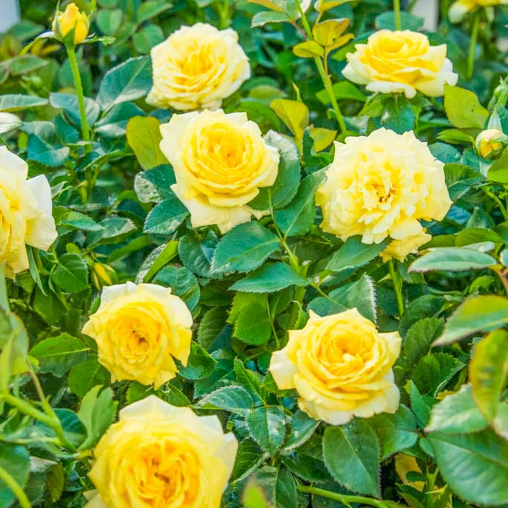 Spring Hill Nurseries 4 In Pot Yellow Freedom Shrub Rose Live
