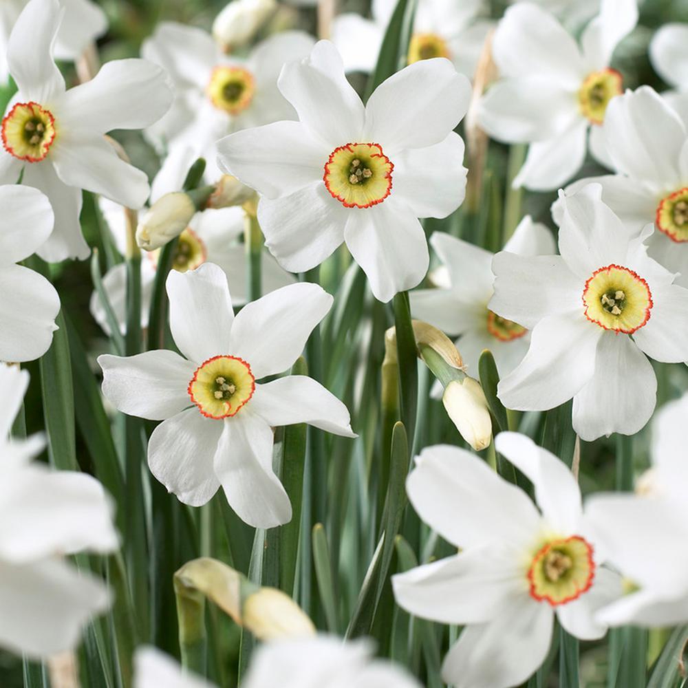 Daffodils Bulbs Pheasant's Eye (Set of 12)