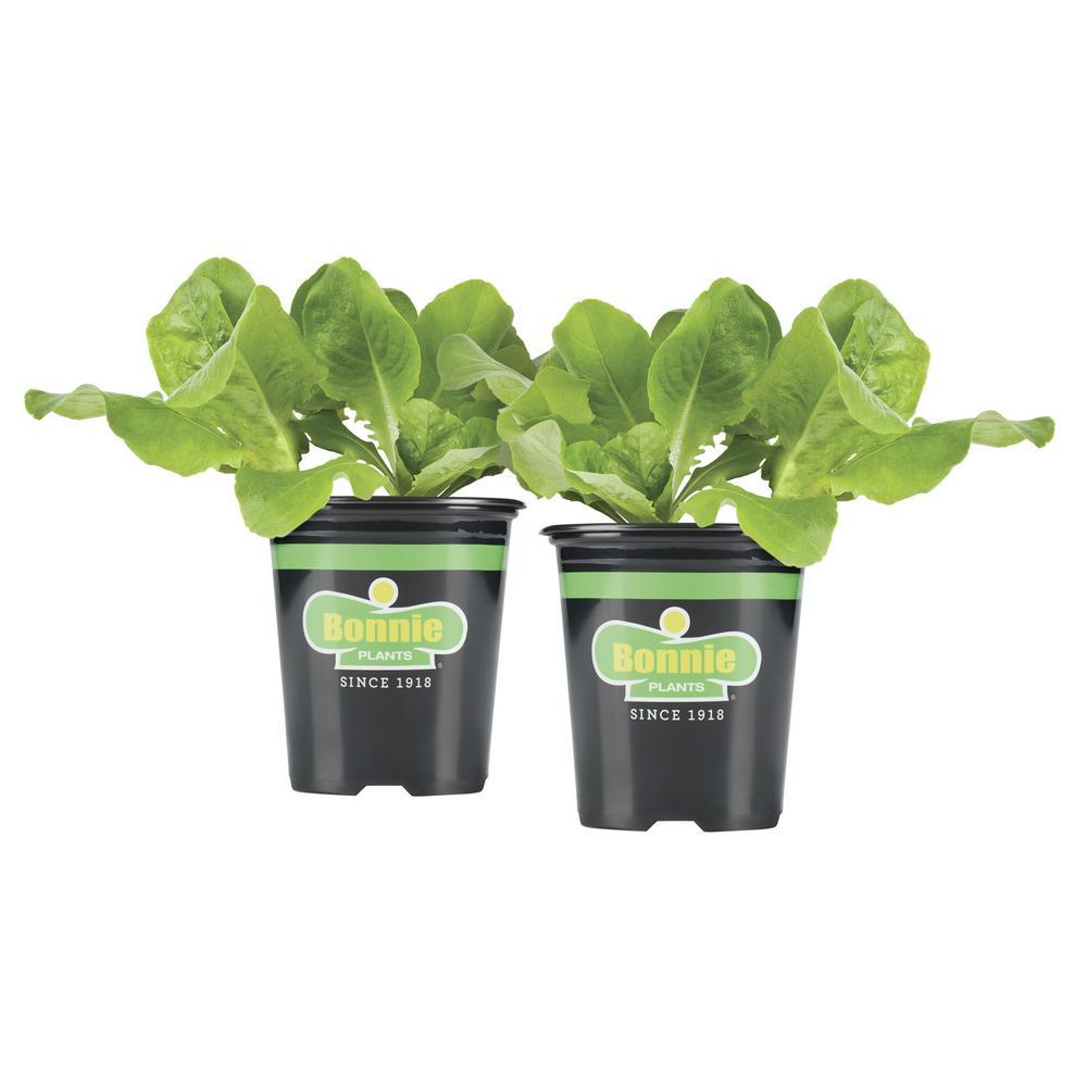 19.3 oz. Buttercrunch Lettuce Plant 2-Pack