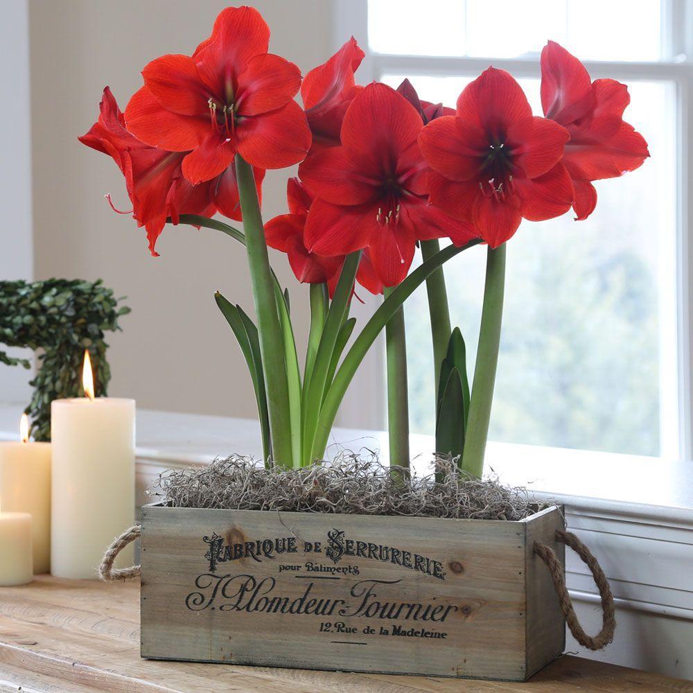 Amaryllis Red Lion Wood Box with Rope Premium Gift Kit