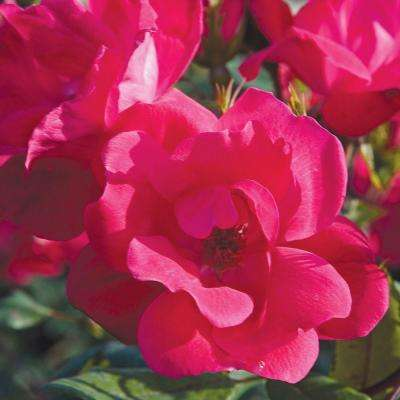 3 Gal. Red Knock Out Rose - Live Blooming Shrub