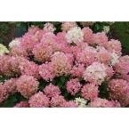 1 Gal. Fire Light 'Tidbit' Hydrangea, Live Plant, White and Red Flowers