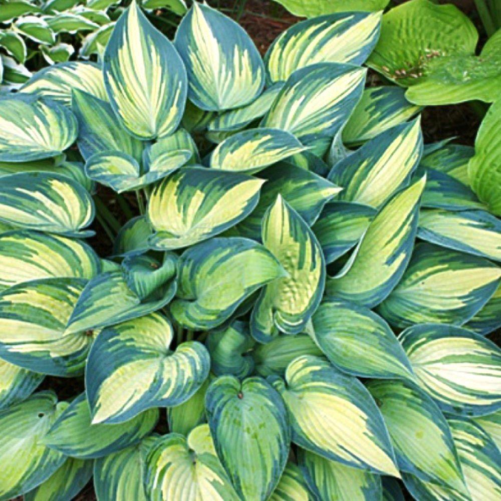 June Plantain Lily Or Hosta Plant