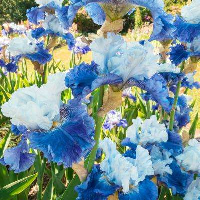 Nehalem Bay Bearded Iris Blue and White Flowers Live Bareroot Plant