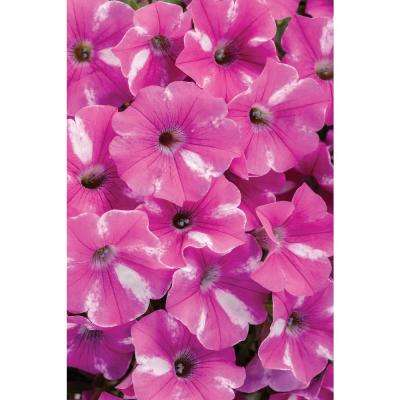 4.25 in. Grande Raspberry Pink and White Flowers Rush (Petunia) Live Plant (4-Pack)