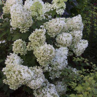 4 in. Pot Proven Winner Bobo Hydrangea, Live Deciduous Plant, White Flower on Green Foliage (1-Pack)