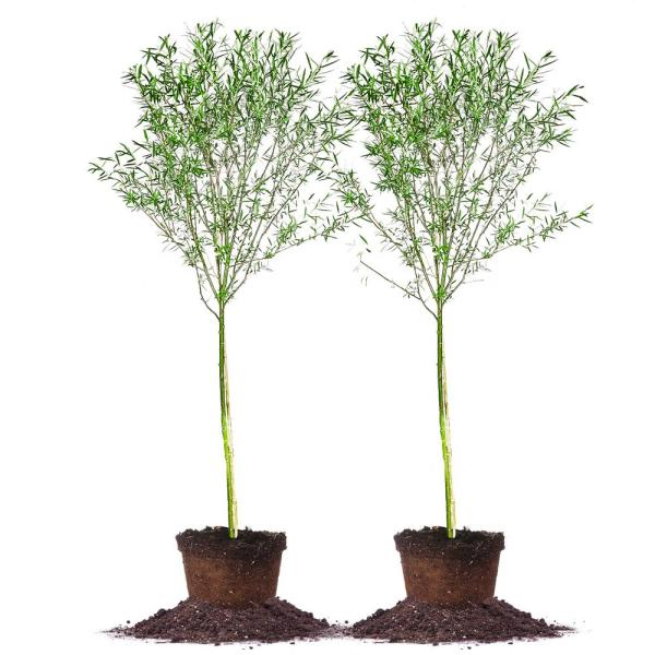 #5 Weeping Willow Tree (2-Pack)