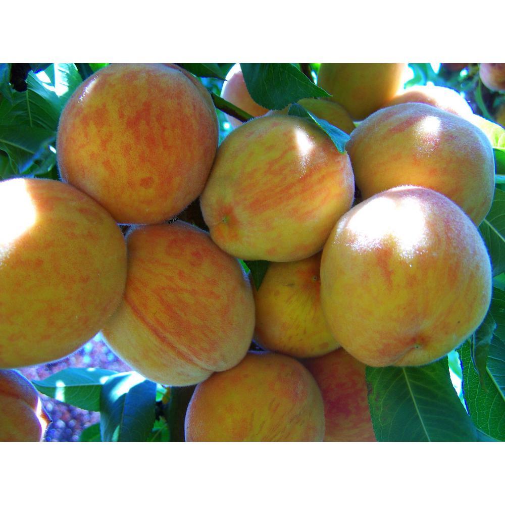 Suncrest Peach Tree
